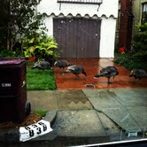 Turkeys Spotted in Albany